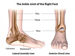 Anatomy of the Ankle Joint